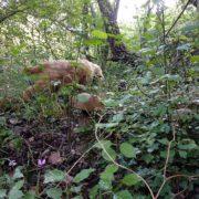 Un cane da tartufo alla ricerca dei preziosi tuberi