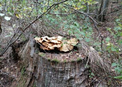 Funghi nei boschi di Cirigliano