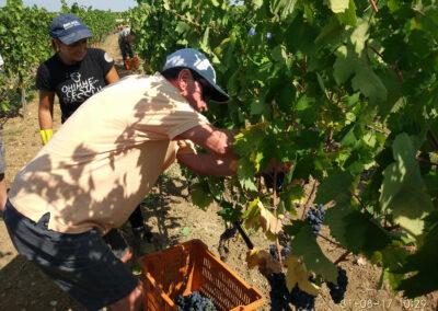 Uno dei viaggiatori americani mentre taglia alcuni grappoli d'uva
